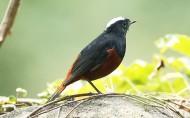 白顶溪鸲鸟类图片(25张)