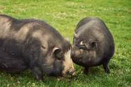 家养猪图片(8张)