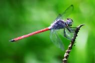 蜻蜓特写图片(8张)