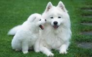 萨摩耶犬图片(23张)