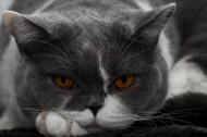 美国短毛猫图片(11张)