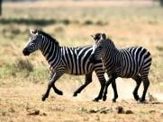 草原上的斑马图片(20张)
