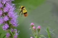 勤劳的蜜蜂图片(12张)