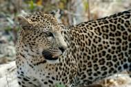 斑点众多的金钱豹图片(11张)