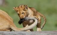 可爱小狮子图片(7张)