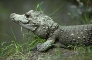 鳄鱼图片(23张)
