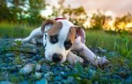 比特犬图片(9张)
