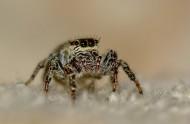 跳蛛图片(18张)