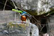 翠鸟图片(10张)