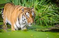 强壮的老虎图片(15张)