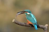 翠鸟图片(11张)