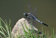 蓝蜻蜓图片(5张)