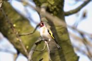 红额金翅雀图片(15张)