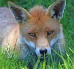 狡猾的赤狐图片(15张)