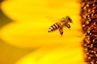 嗡嗡的小蜜蜂图片(12张)