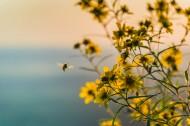 采花粉的蜜蜂图片(10张)
