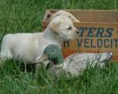 拉布拉多猎犬图片(21张)