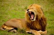 威武的雄狮图片(12张)