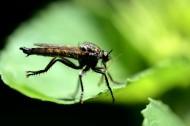 食虫虻图片(6张)