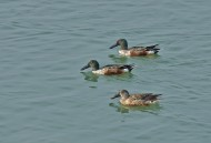 琵嘴鸭图片(13张)