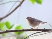 墩圆的褐柳莺图片(12张)