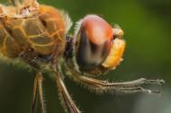 蜻蜓局部特写图片(6张)