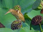 黄苇鳽图片(9张)