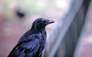 帅气乌鸦图片(8张)
