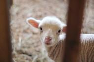 白色的羊图片(11张)