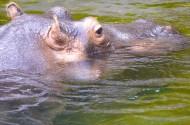 露出水面的河马头部图片(12张)