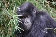 可爱的大猩猩图片(12张)