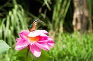 荷塘上的翠鸟图片(10张)