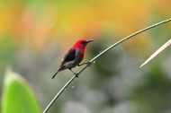 黑胁啄花鸟鸟类图片(12张)