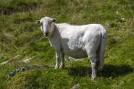 可爱绵羊图片(13张)
