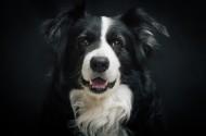 犬种智商第一的边境牧羊犬图片(16张)