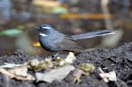 扇尾鹟鸟类图片(8张)