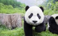 快乐玩耍的熊猫图片(5张)