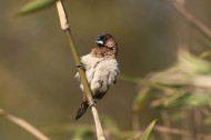 小巧的文鸟图片(6张)