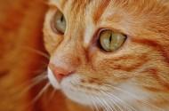 猫咪脸部特写图片(10张)