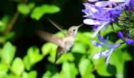 觅食的蜂鸟图片(12张)