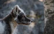 遥望远方的狐狸图片(16张)