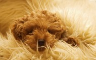 可爱泰迪犬图片(23张)