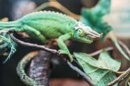 濒危物种鬣蜥图片(9张)