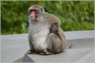 日本猕猴图片(9张)