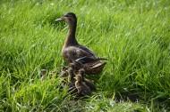 水塘里游泳的鸭子图片(14张)