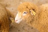 温顺的绵羊图片(11张)