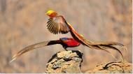 美丽的红腹锦鸡图片(11张)