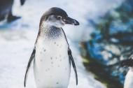 企鹅高清图片(14张)