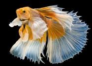 彩色金鱼图片(13张)