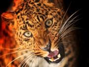 野生猎豹图片(26张)